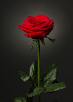 Одна красная роза, изолированная на черном