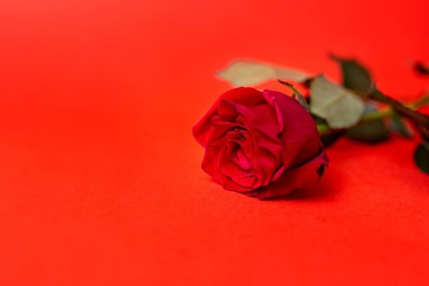赤い背景に1つの赤いバラ。コピースペース
