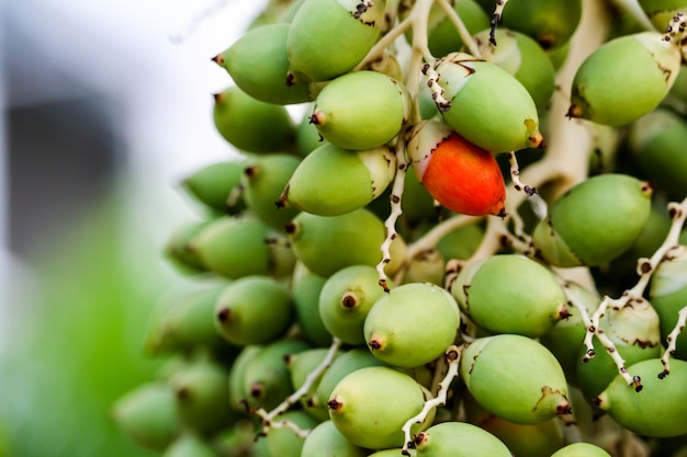 One red seed and new green palm seed on tree