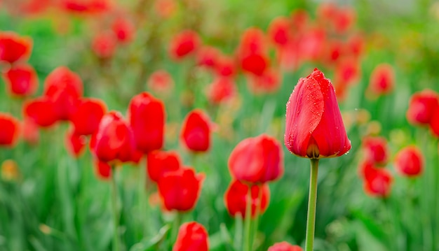 One red tulip focus on blurred tulip field background.