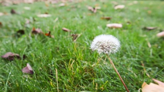 緑の芝生の上に暖かい日光の心地よい背景を持つ秋の1つの熟したタンポポ。秋の日の草の上の秋の森の胞子タンポポ。
