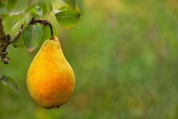 Одна спелая желтая сочная груша на дереве.