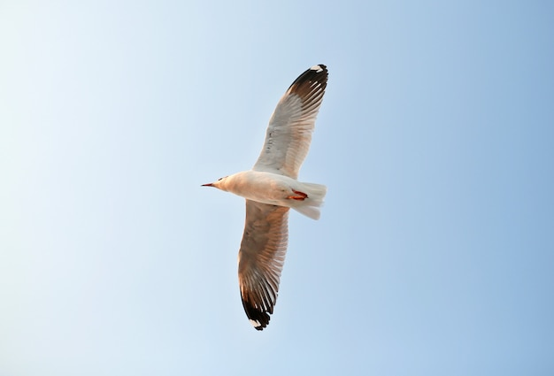 One seagull flying in the sky