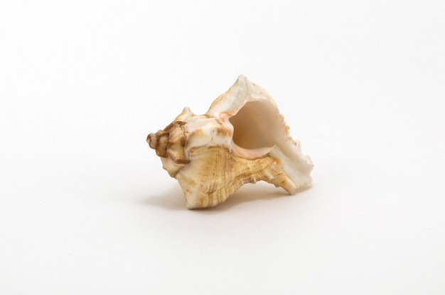 One seashell isolated on a white background up