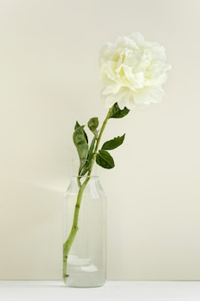 One single flower of white peony in a transparent vase on pastel wall, light and spring, tender valentin`s gift