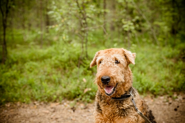 One sitting black brown airedale terrier dog isolated on nature forest background