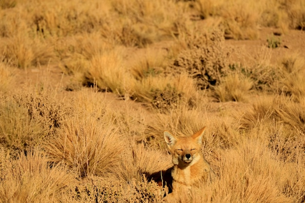 One sleepy andean fox sunbathing among desert brush field, atacama desert, chile