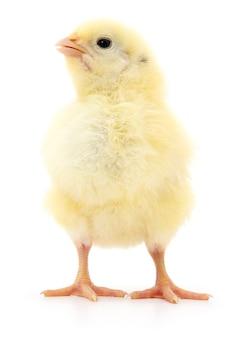 分離された1羽の小さな鶏