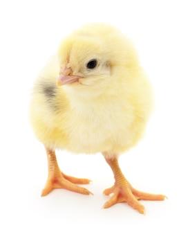 Один маленький цыпленок на белом фоне