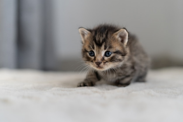One small kitten crawls on a gray blanket for 14 days.