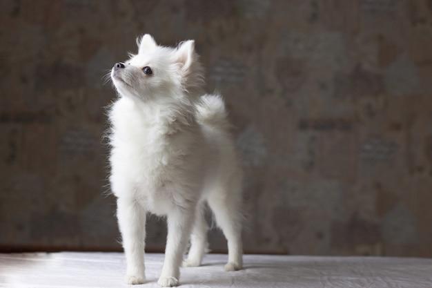 One small white pomeranian dog