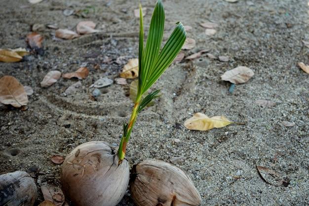 땅에 하나의 싹이 튼 코코넛