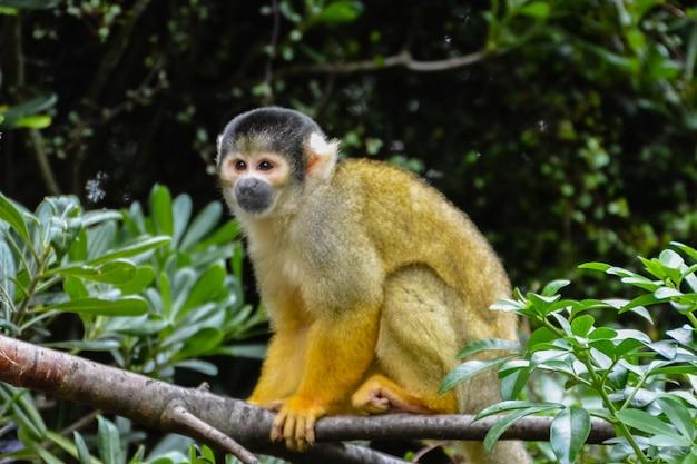 옆을 바라보는 나무 가지에 한 다람쥐 원숭이(saimiri sciureus).