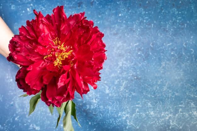 Один потрясающий красный пион крупным планом в руке на синем текстурированном фоне в современном модном стиле с тенями. праздничная открытка с цветком на день матери или женский праздник. выборочный фокус.