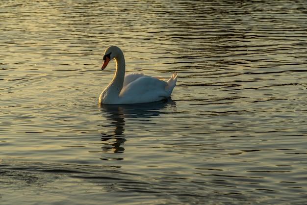 一羽の白鳥、水鳥