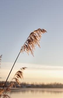 호수 위의 키 큰 황금 갈대 하나가 푸른 하늘을 배경으로 바람에 흔들리고 있습니다.