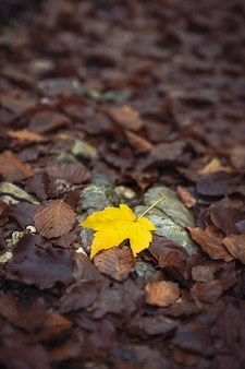 One vibrant maple leaf surrounded by faded dark leaves, minimalistic autumn season image taken in the forest