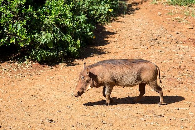 Один бородавочник в саванне кении