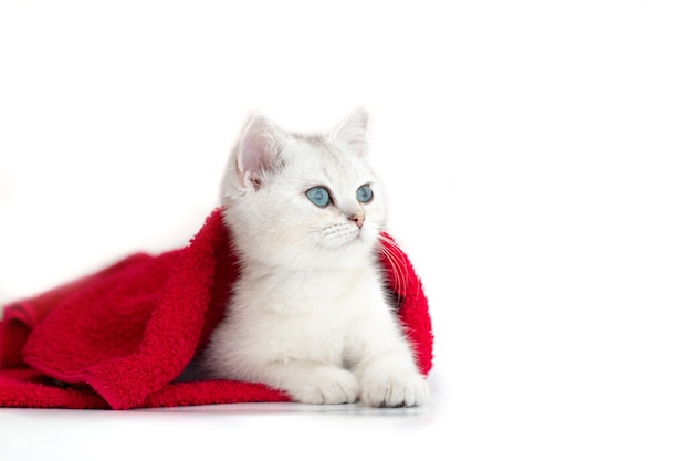 하나의 흰색 귀여운 새끼 고양이 흰색 배경에 빨간 수건에 놓여 있습니다.