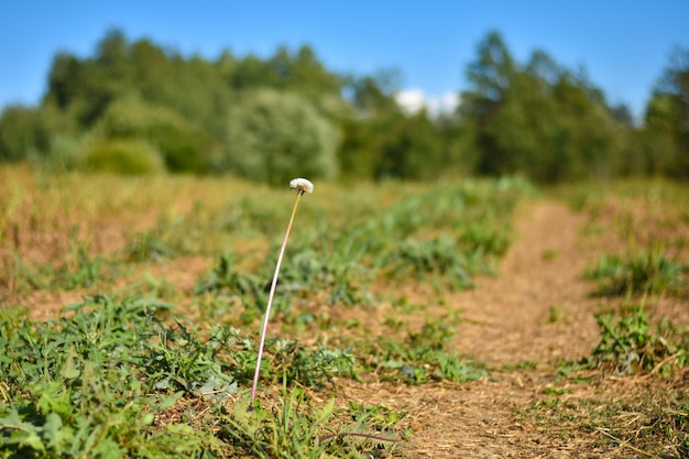 One white dandelion flower on a long leg grows in the field during the day