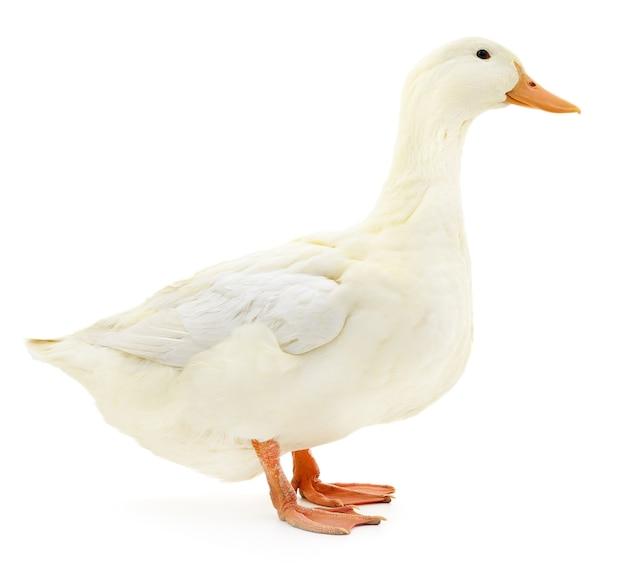 Одна белая утка, изолированные на белом фоне.