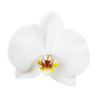 배경 근접 촬영에 고립 된 한 흰 난초 꽃