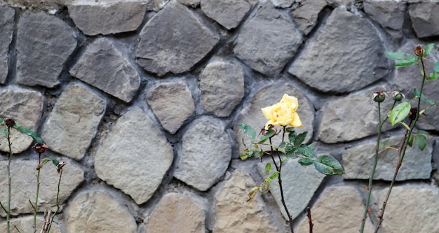中世の石の壁の前に白いバラが1つ、美しいコントラスト、コピースペースのある背景。古い壁の背景に緑の葉と花、庭の天然石の柵。