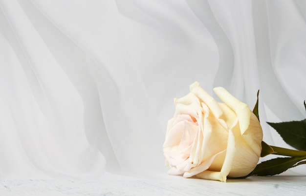 One white rose on white textured background.