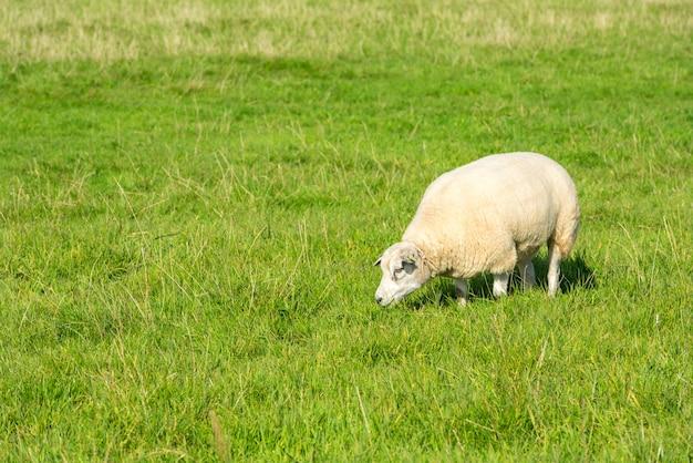 Одна белая овца ест зеленую траву на ферме