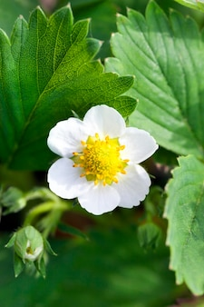 One white strawberry flower photographed close-up during flowering in the agricultural field. small depth of field. close-up with focus on the inflorescence