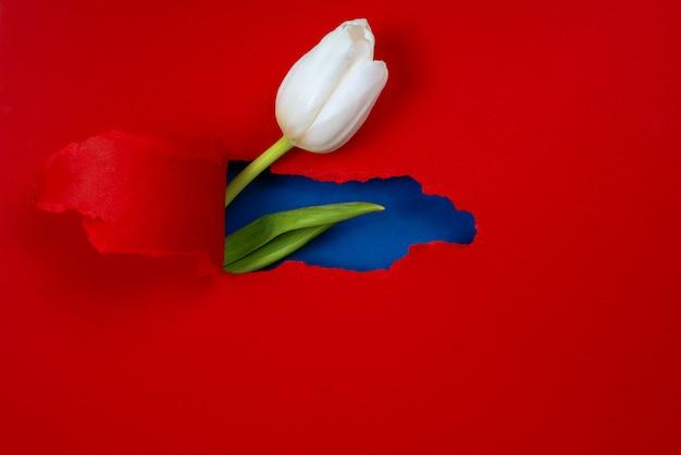 Один белый тюльпан виден из дыры в красной бумаге. внутри показан синий цвет и зеленый лист
