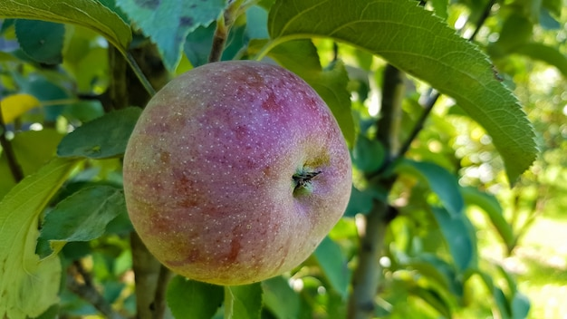 화창한 봄날 정원의 나뭇가지에 녹색 잎이 달린 빨간 사과 한 개. 익은 과일 제철 수확을 수확합니다.