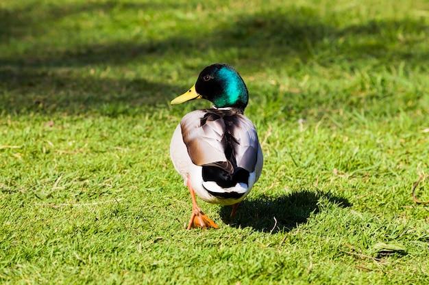 緑の芝生を横切って遠くまで走っている野生のドレイク