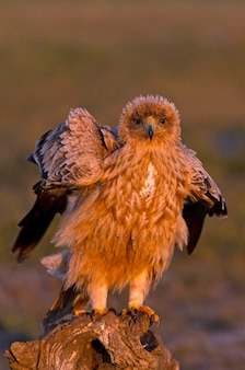 One year old female spanish imperial eagle with the first light of dawn