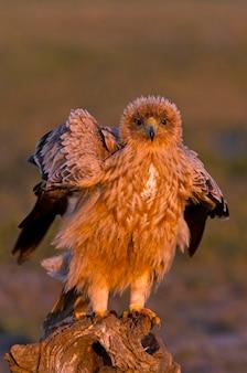 Однолетняя самка испанского имперского орла с первыми лучами рассвета