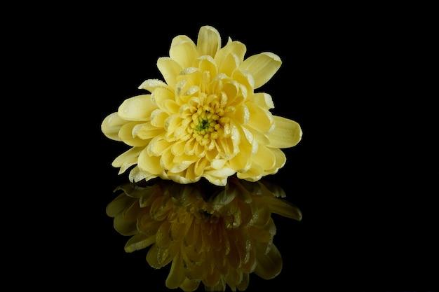黒の背景に1つの黄色の菊