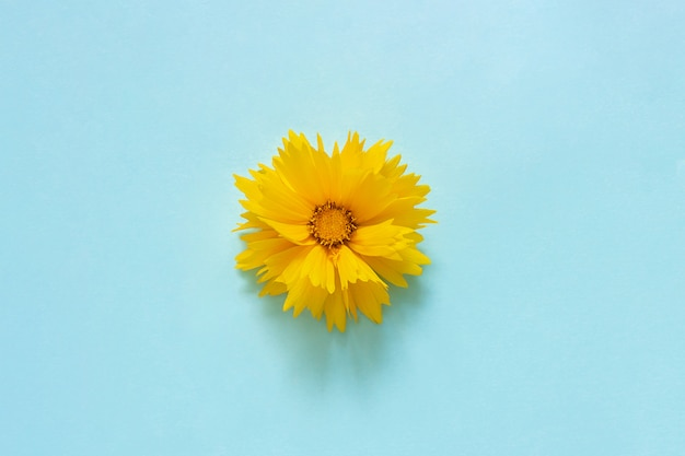 One yellow coreopsis flower on blue background minimal style