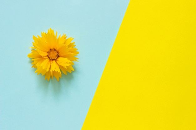 One yellow coreopsis flower on blue and yellow paper background minimal style