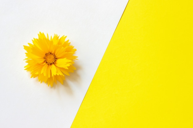 One yellow coreopsis flower on white and yellow paper background