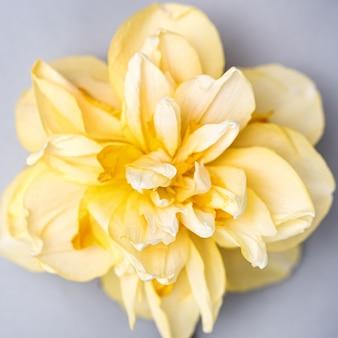 하나의 노란 수선화 꽃이 전체 프레임을 채 웁니다. 봄, 봄 꽃 개념 및 인사말 카드 또는 휴가 초대 배너.