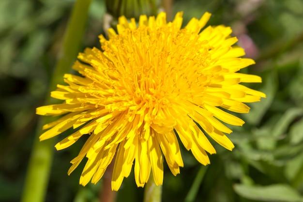 自然の中で、春に1つの黄色いタンポポのクローズアップ