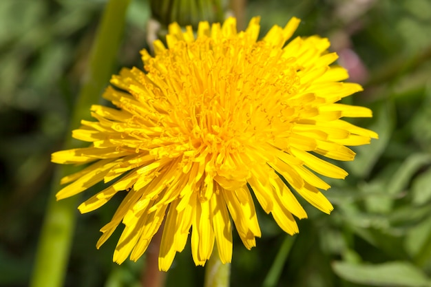 One yellow dandelion close-up in spring, on nature