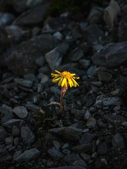 Один желтый цветок на темном вечернем скалистом фоне. senecio karjaginii на каменном склоне горного алтая, 3000 м над уровнем моря. вид с высоты птичьего полета.