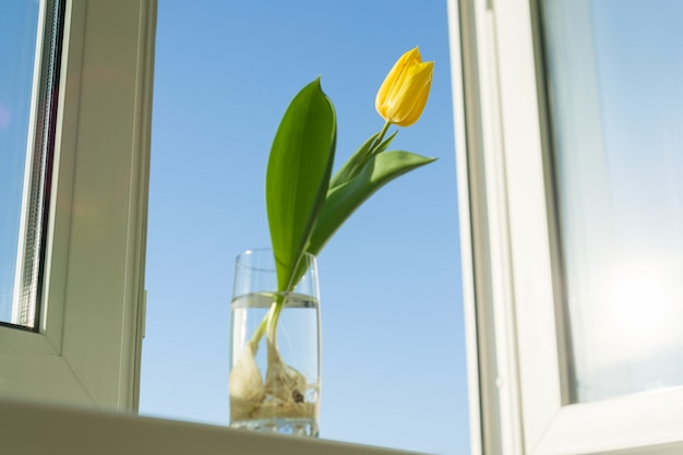One yellow flower tulip with bulb in a glass of water