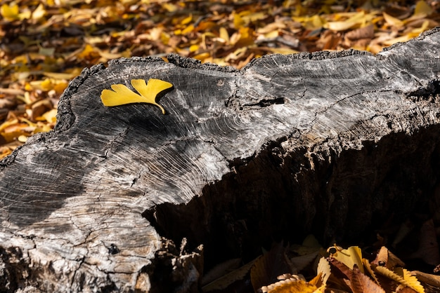 One yellow leaf of ginkgo biloba arranged on a textured trunk  with yellow leaves on background