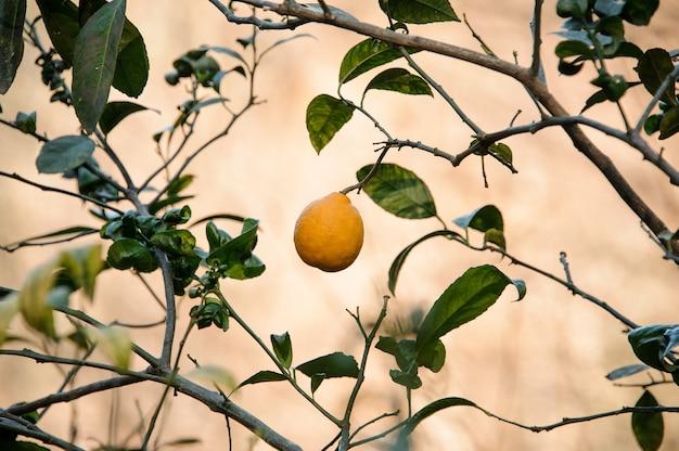 Один желтый лимон на зеленом дереве листьев. зачатие весны, новой жизни в природе.