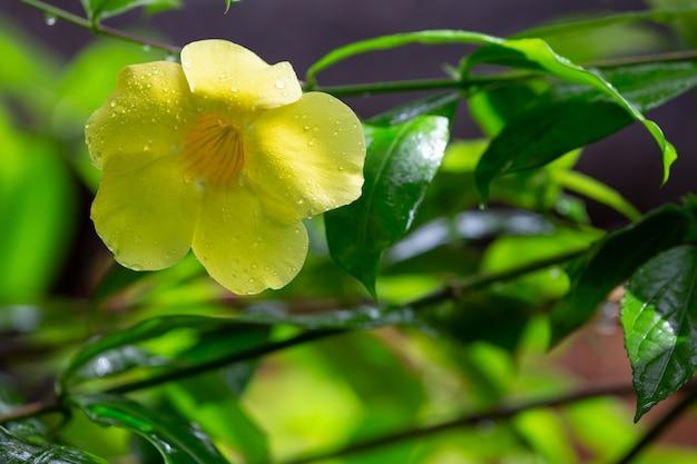 Один желтый родной цветок мадагаскара с маленькими каплями дождя
