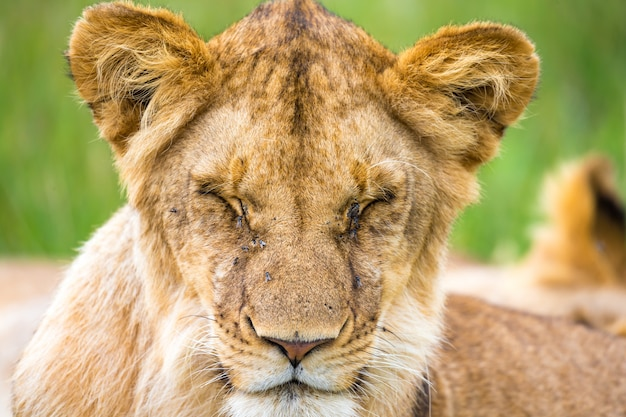 One young lion in close-up, the face of a nearly sleeping lion