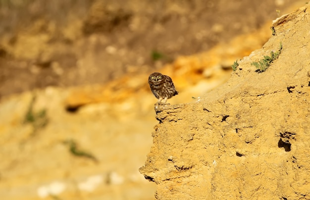 One young little owls watching me from hide