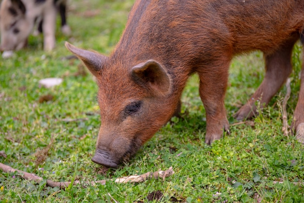 One young pig on a green grass. brown funy piglet grazing.